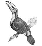 Bird Toucan on branch - pencil drawing of hand. Figure tropical birds in pencil by hand. On white background, vector Stock Photo
