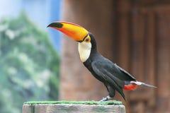 Bird Toucan. Portrait of Bird Toucan (Ramphastos toco royalty free stock photos