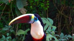 Bird toucan sits on a tree among the foliage stock video footage