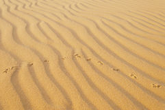 Bird traces in the sand. White sand dune. Mui Ne.  Royalty Free Stock Photo