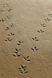 Bird tracks. Wading birds tracks in soft sand on beach Royalty Free Stock Photo