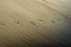 Bird tracks or footprints in sand Stock Images