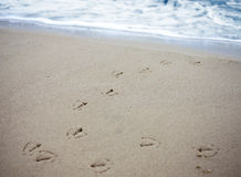 Bird tracks in sand of a beach. Stock Photos
