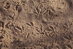 Bird tracks in the sand Royalty Free Stock Image