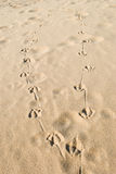 Bird Tracks on Sandy Beach Stock Photos