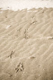 Bird tracks in the winter sand. In winter royalty free stock image