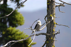 Bird on a Tree. Close-up of a grey jay of Canada stock image
