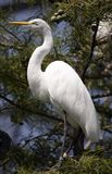 Bird in tree. Portrait of an egret in a tree Stock Images