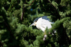 Bird in Tree Royalty Free Stock Image