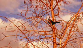 Bird in tree. Brown bird in tree during a sunset casting a glow everywhere Stock Photos