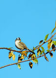Bird on tree. Small bird sitting on a tree branch, with blue sky at the background Royalty Free Stock Images