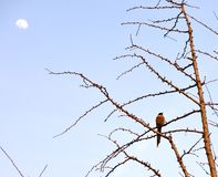 Bird in tree against the moon Stock Photography