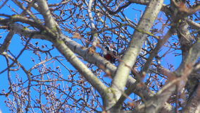 Bird in tree. Blooming willow tree in front of blue sky. Bird on tree in spring. Bird in tree. Blooming willow tree in front of blue sky. Woodpecker knocking on stock video