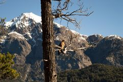 Bird on a tree branch. Beautiful sight of a bird standing on the branch of a tree looking at the snowed mountains. Lago Moreno, Bariloche, Argentina. Cordillera Stock Image