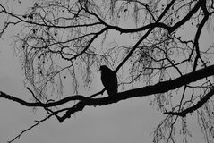 Bird on the tree. BW Image of the bird sitting on the branch Royalty Free Stock Photos