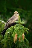 Bird with tree cone. Black Kite, Milvus migrans, brown bird of prey sitting larch tree branch. animal in the nature habitat. Black Stock Photos