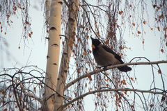 Bird on a tree. Crow eating seeds on a birch Royalty Free Stock Image
