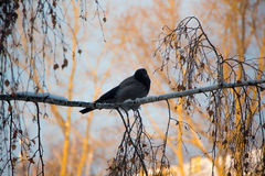 Bird on a tree. Cunning crow on birch morning Stock Images