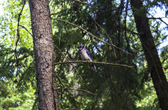 Bird on tree in Kanada Royalty Free Stock Photography