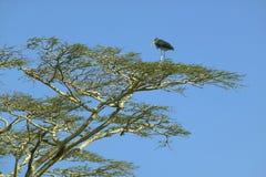 Bird in tree in Nairobi National Park, Nairobi, Kenya, Africa Royalty Free Stock Images