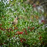 Bird in Tree with Red Berrys. The Woodlands TX USA - 12/26/2018 - Bird in Tree with Red Berrys royalty free stock photo