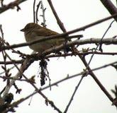 Sparrow bird in a tree stock photo