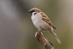 Bird - tree sparrow Royalty Free Stock Images