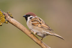 Bird - Tree Sparrow Stock Photography