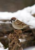 Bird tree sparrow. Tree sparrow bird on winter time Stock Photography