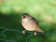 Bird - Tree Sparrow. Closeup of a Tree Sparrow bird standing on a wire Stock Image