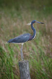 Bird - Tri Colored Heron. A tri-colored heron stands on a fence post near Punta Gorda Florida royalty free stock photo
