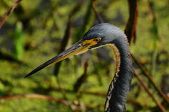 Bird: Tricolored Heron Stock Photo