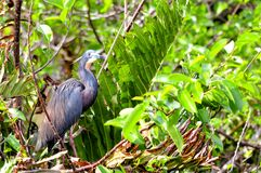 Bird, Tricolored heron, Louisiana heron Royalty Free Stock Photography