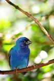 Bird, Tricolored Parrot-Finch on branch Stock Photo