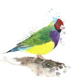 Bird tropical bird Australian finch colorfulbird watercolor painting illustration isolated on white background. Bird tropical bird Australian finch colorfulbird Stock Images
