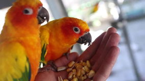 Bird tropical island eating from hands. Beautiful parrot sun conure tropical island eating from hands stock video footage