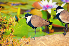 Bird in the tropics. Birds on the shore of the pond with water lilies Royalty Free Stock Images