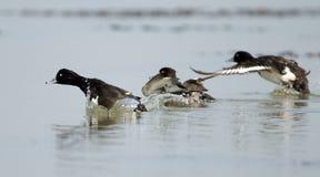 Bird, Tufted Duck  Aythya fuligula Royalty Free Stock Photography