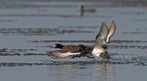 Bird, Tufted Duck  Aythya fuligula Royalty Free Stock Images
