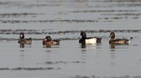 Bird, Tufted Duck  Aythya fuligula Stock Image