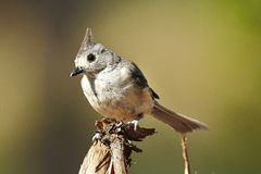 Bird. Tufted titmouse bird stock photos