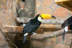 Bird tukan in the zoo, in captivity. A bird with a large bright yellow beak. Royalty Free Stock Photo