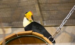 Bird tukan in the zoo, in captivity. A bird with a large bright yellow beak. Royalty Free Stock Images