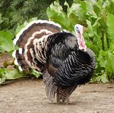 Bird Turkey Stock Photography