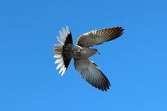 Bird , Turtledove flight. Turtledove flight in the blue sky , View from below Stock Images