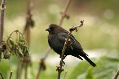 Bird on twig. Bird holding on to twig in colorado mountains Royalty Free Stock Images