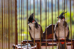 Bird. Two bird in a cage Stock Images