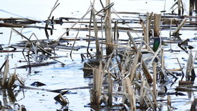 Bird two duck black wild floats on water in lake natural reeds conditions stock video