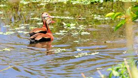 Bird, two whistling ducks in water in wetlands Royalty Free Stock Photo