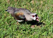 Bird Vanellus chilensis nervous looking nest on grass Stock Photos